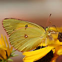 Any guesses on which Colias? - Colias eurytheme - female
