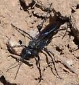 Solitary wasp - Larropsis
