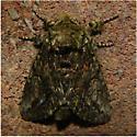 Unknown Notodontid 2 - Heterocampa umbrata