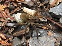 Wolf Spider #2 - Gladicosa gulosa - female