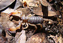 Burrowing scorpion Anuroctonus phaiodactylus - Anuroctonus pococki - male