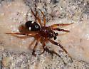 Unknown Spider - Asagena americana