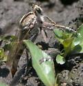 Brown robber fly with banded abdomen - Triorla interrupta