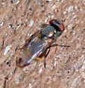 Tiny fly, Chloropidae, Lauxaniidae, or neither?  - Euxesta notata - female