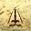 Haploa clymene - Hodges #8107 - Haploa clymene