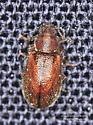 Paratenetus punctatus - Paratenetus