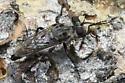 March Fly (Bibionidae)? - Cyrtopogon evidens - female