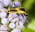 beetle? - Chauliognathus scutellaris