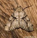 Moth - Vinemina opacaria - male
