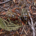 June Beetles (Polyphylla decemlineata)?, pr - Polyphylla decemlineata - male - female