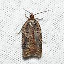 Tortricid - Acleris braunana - female