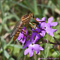 Stiletto type fly, Ft Pulaski National Monument, sandy soil, mouth of Savannah river - Diogmites
