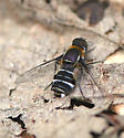 Bee Fly - Villa arenicola