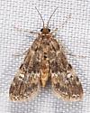 brown moth - Elophila obliteralis