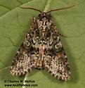 Moth - Mimobarathra antonito