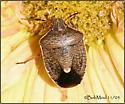 Stink Bug-family Pentatomidae - Holcostethus limbolarius