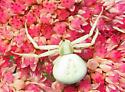 Whitebanded Crab Spider - Misumenoides formosipes - female