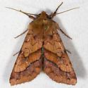 Bordered Sallow - Hodges#11063 - Pyrrhia cilisca