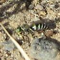 Black and white striped wasp--Bembecini? - Bembecinus