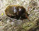 Beetle 7 - Sculptotheca puberula