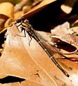 Blue-tipped dancer damselfly  - Argia tibialis - female