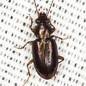 Beetle - Bembidion rapidum