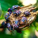 Rhopalidae (Scentless Plant Bugs) - Niesthrea louisianica