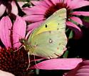 Colias philodice - female