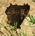 Butterfly - Nymphalis californica