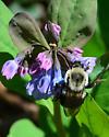 Bumble Bee queen - Bombus impatiens