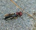 Sawfly - Acantholyda floridana