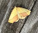 Unknown Moth - Sicya - male