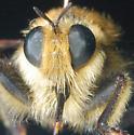 Unknown Mallophora sp. 1 - Laphria astur
