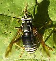 Spilomyia fusca? - Spilomyia fusca