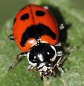 Sad ladybug - Hippodamia quinquesignata