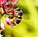 Flat-tailed leaf-cutter bee - Megachile mendica