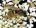 Eastern Yellowjacket - Vespula maculifrons - male