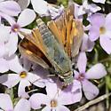 Tahoe skipper - Hesperia juba - male