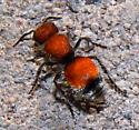 velvet ant - Pseudomethoca propinqua - female