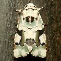 Moth - Emarginea percara