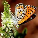 Butterfly - Apodemia nais