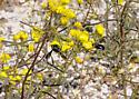 Big black bee? - Xylocopa californica