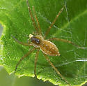 Spider with hatchlings 1 - Dolomedes triton