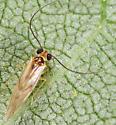 Bark Louse ID - Valenzuela flavidus - male