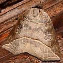 Brown Moth with map like markings - Isogona tenuis