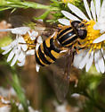 Striped-thorax hover fly - Helophilus fasciatus