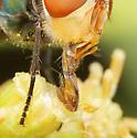 Diptera - Chrysomya megacephala - male