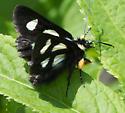 Langton's Forester Moth - Alypia langtoni - male