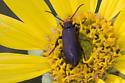 Epicauta atrata blister beetle - Epicauta atrata