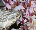 moth, silver - Oxycnemis gracillinea